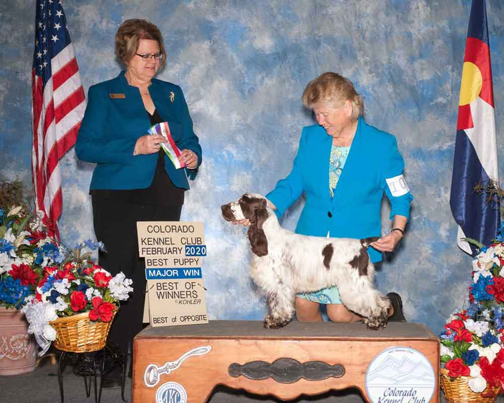 Decker, AKC Champion English Cocker Spaniel