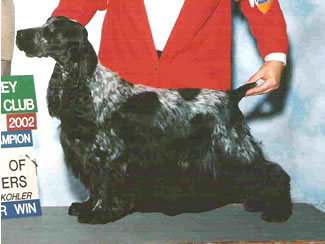 Rett, AKC Champion English COcker Spaniel
