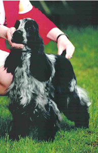 Sophie, AKC Champion English Cocker Spaniel